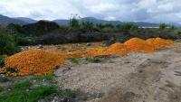 bačene mandarine