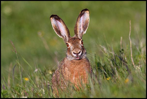 zajcov japa
