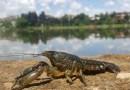 Mramorni rak (Procambarus virginalis)