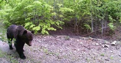 Nakon risa, na Dinari snimljen i medvjed