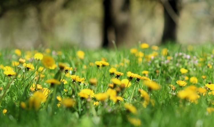 Maslačak je najbolji prijatelj oprašivača, pa tako i pčela, ne uklanjate ga prebrzo iz svoga vrta