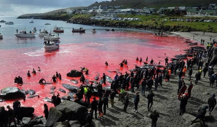 Pokolj dupina na Farskim otocima - može li to biti tradicija?