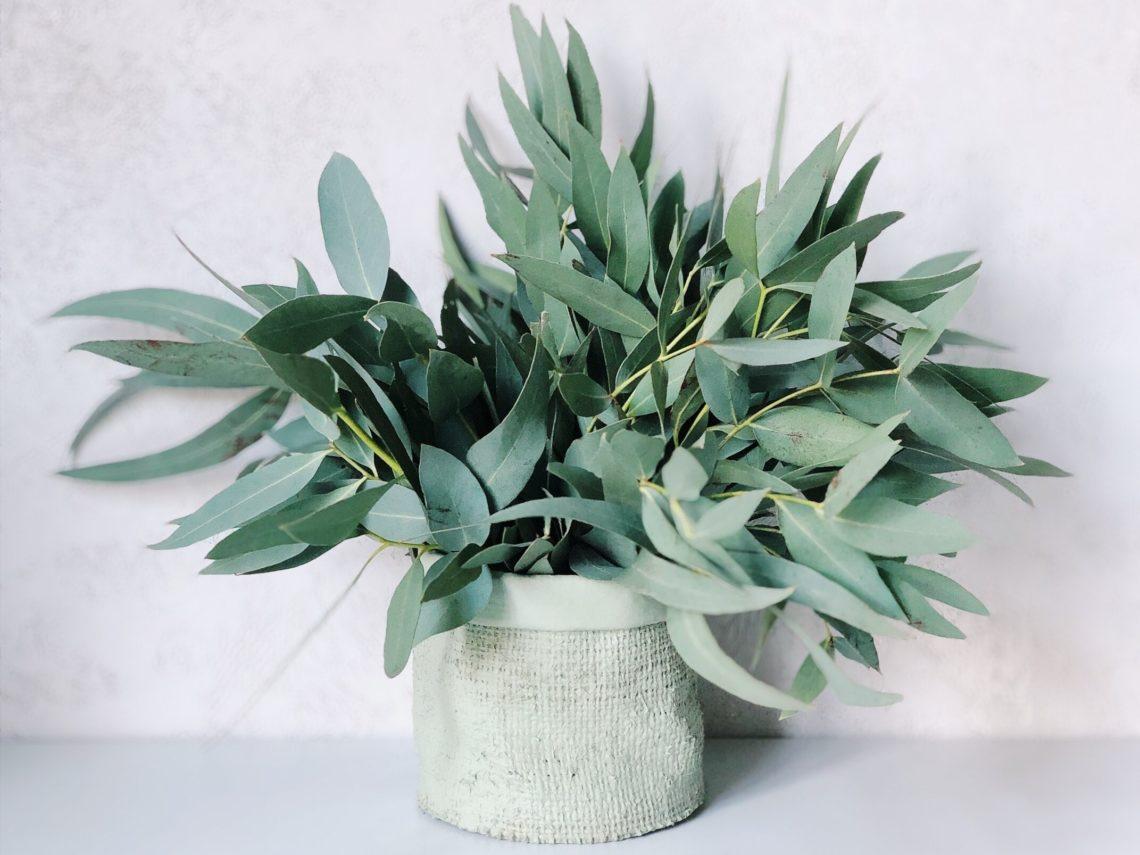 les bienfaits de l eucalyptus