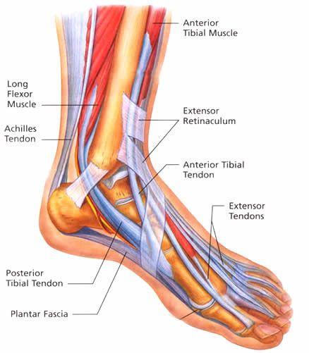 foot tendon