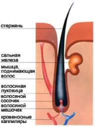 Причины выпадения волос с луковицей