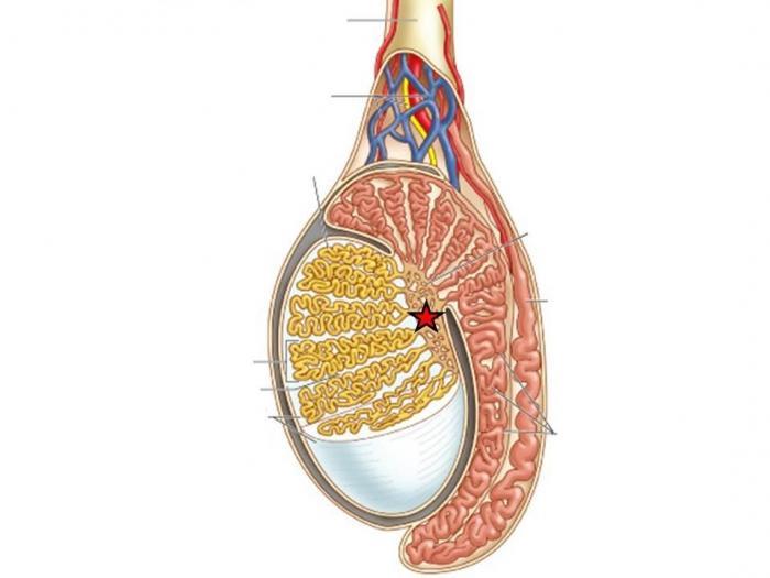 Від чого виникає хронічний везикуліт