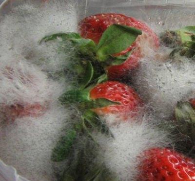 грибок на ягодах