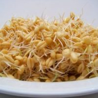 wheat-sprouts