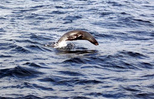 ein junger Seelöwe setzt zum Überholen an..