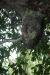 Honissennest im Mangobaum