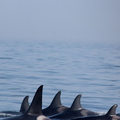 Orcas (Foto: Rüdiger Hengl)