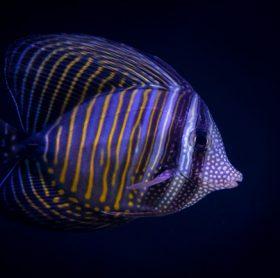 Fische vom Roten Meer: Desjardini Doktorfisch