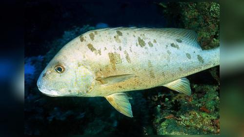 small resolution of diagramma pictum fishbase