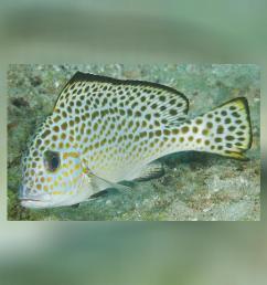 diagramma pictum fishbase [ 1280 x 720 Pixel ]