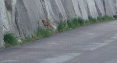 En nog net de staart van de vos die wel stokvis lust