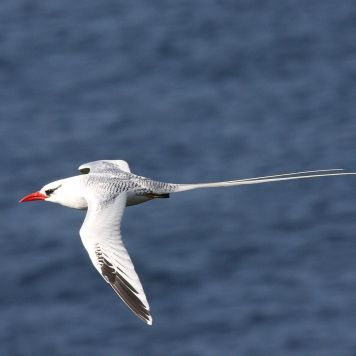 By Dominic Sherony - Red-billed Tropicbird (Phaethon aethereus)Uploaded by Magnus Manske, CC BY-SA 2.0, Link