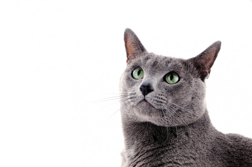 Cute Fat Cat Wallpaper 10 Cool Facts About Your Russian Blue Mega Bored