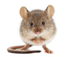 plaagdierbeheersing tegen muizen