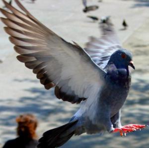 een stadsduif door voor veel vogeloverlast zorgt