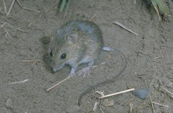 een muis waar muizenbestrijding voor nodig is
