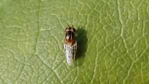 grasvlieg met gele en zwarte strepen
