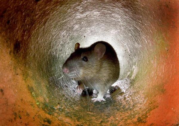 een rat waar rattenbestrijding voor nodig is