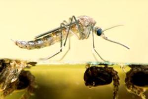 steekmug met larven waarvoor muggenbestrijding nodig is