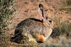 een konijn dat wordt beheerst door een ongediertebestrijder en onder faunabeheer valt