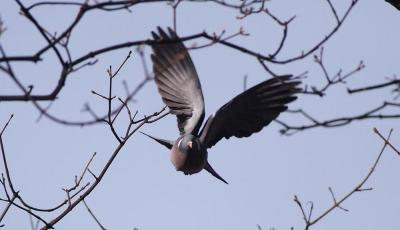 een duif waar vogelwering voor nodig is