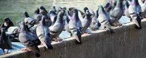 duiven waar vogelwering voor nodig is