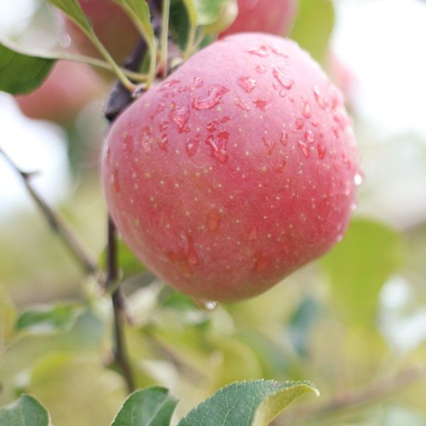 Fresh apple picking in Southern California is only 90 minutes from Orange County. Apple Country has tons of farms but we love Los Rios Rancho because of the beautiful orchards and family fun to be had. #ApplePicking #FallBucketList #CiderDonuts