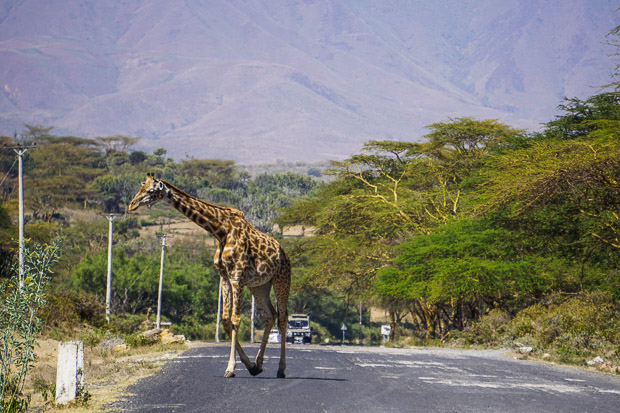 a giraffe crossing a paved road near Lake Naivasha, Kenya