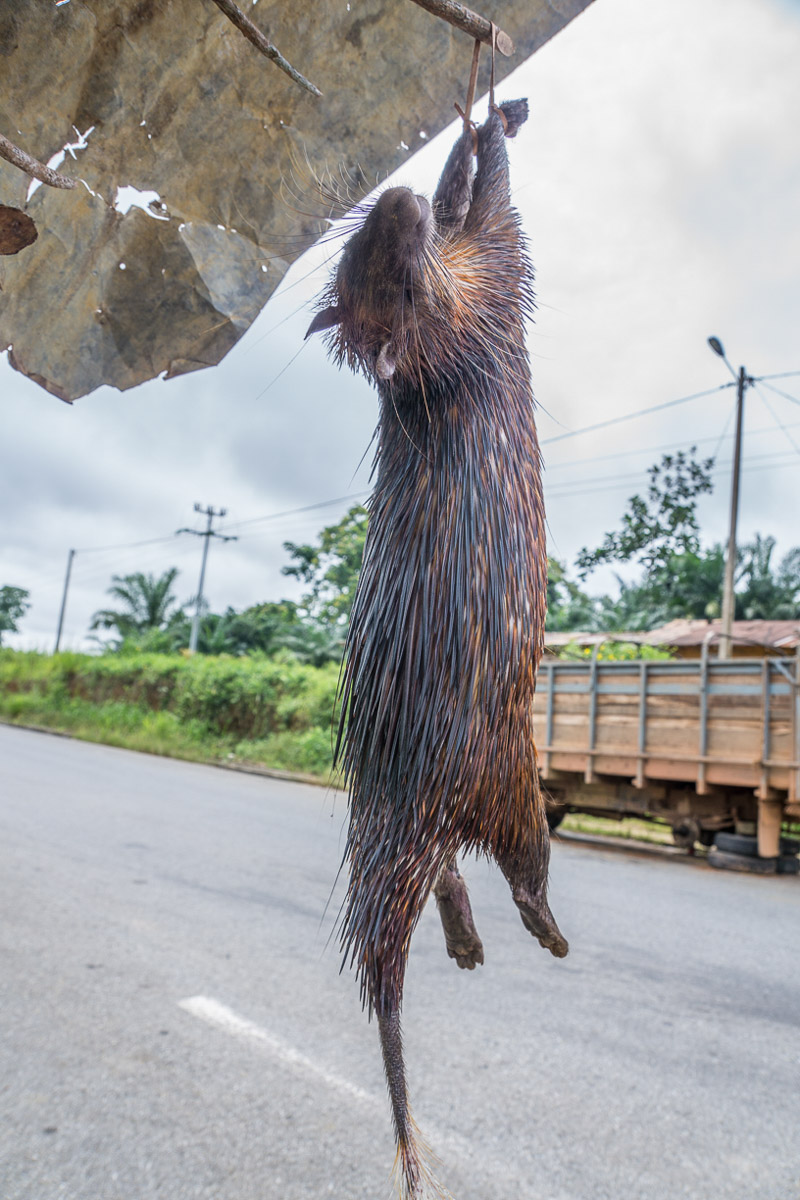 a brush tailed porcupine for sale along the road in Gabon