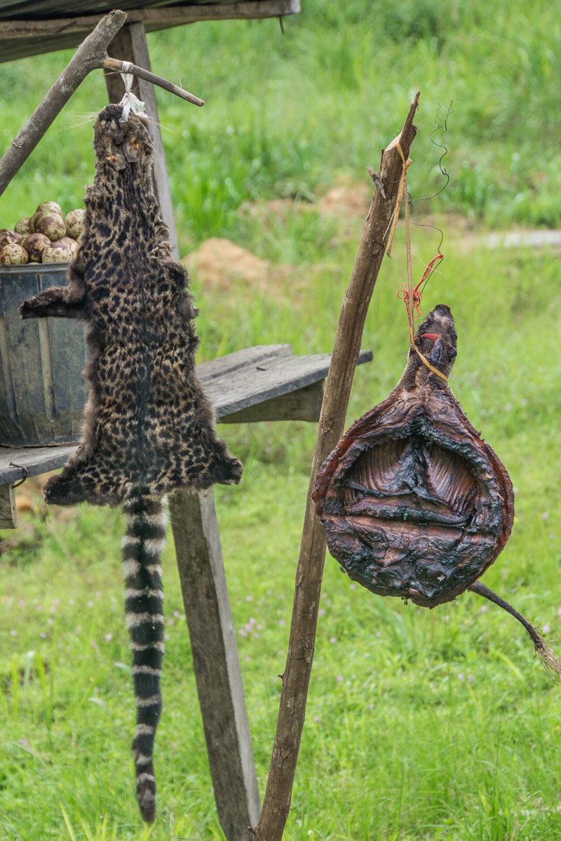 a forest cat pelt and a roasted porcupine for sale along the road in rural Gabon