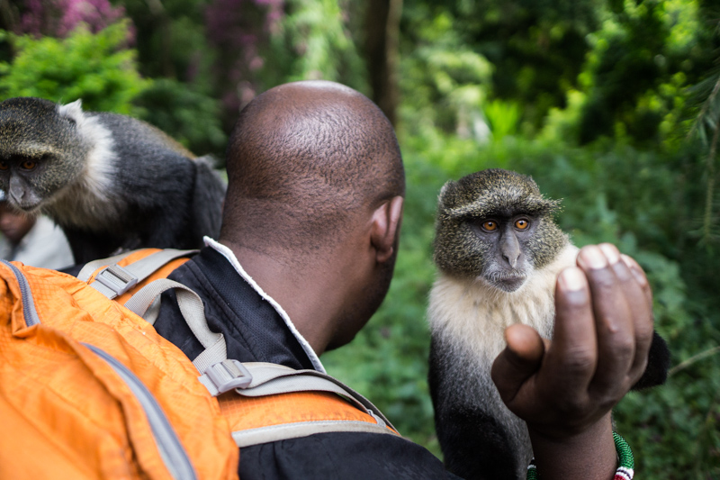 two monkeys perched on a man waiting to get food from him in city park, Nairobi