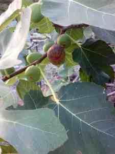 Fig Preserves, Hawaiian Fig Tree