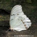 _LND1672-White-Morpho