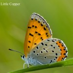 _LND3679-Little-Copper