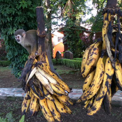 monkeys and bananas