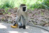 Martha discovered that you never eat a banana around a monkey….