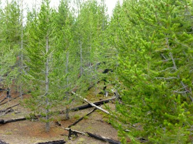 Yellowstone is still recovering from recent fires. The trees grow on their own. The cones require fire to open up and germinate properly.