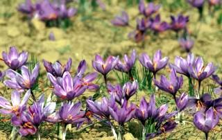 mehr-saffron-persian-saffron-slide33