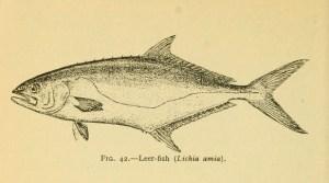 波线鲹,生物多样性遗产图书馆(Biodiversity Heritage Library )(裁切图)拍摄