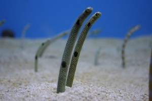 沙鳗,Lars Hammar拍摄