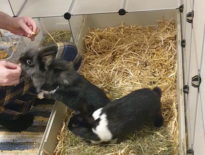 Kaninchen-bekommen-Apfelchips