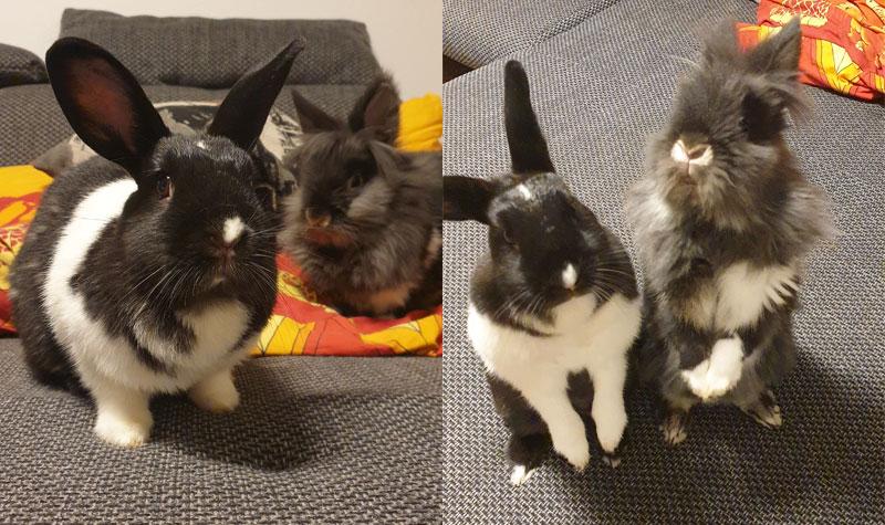 Kaninchen-machen-Männchen-für-Apfelchips