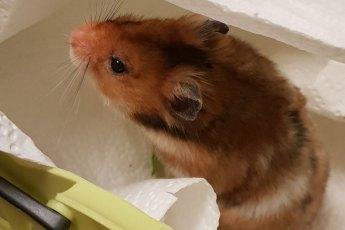 Rattenmilben