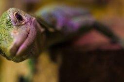 Der große Geckorassenguide