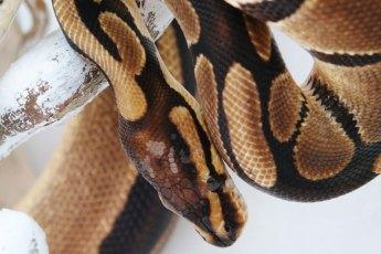 Schlange-Rassenguide