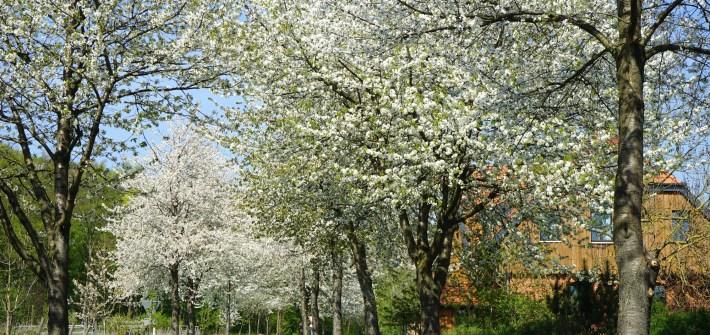 Kirschblüten-Traum bei Lutter am Barenberge / Beate Ziehres